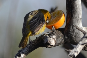 Streak-Backed Oriole (code 4)